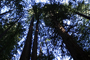 Californian Photos - Giant Redwoods by Aidan Moran