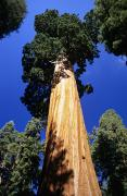 Howell Posters - Giant Sequoia Poster by Michael Howell - Printscapes
