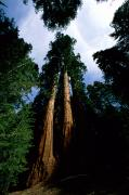 Scenic Views Posters - Giant Sequoia Trees Sequoiadendron Poster by James P. Blair