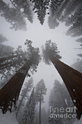 Featured Art - Giant Sequoias by Gregory G. Dimijian, M.D.