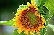 Large Sunflower Framed Prints - Giant Sunflower Framed Print by Carolyn Marshall
