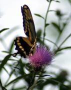 Thisle Framed Prints - Giant Swallowtail Framed Print by Janice Keener