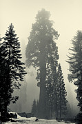 Sequoia Tree Prints - Giant tree - toning Print by Hideaki Sakurai