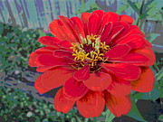 Padre Art Photos - Giant Zinnia Bloom by Fence by Padre Art