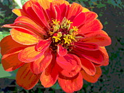 Padre Art Photos - Giant Zinnia Bloom Macro by Padre Art