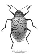 Beetle Drawings - Gibbifer californicus Lacordaire Erotylidae Coleoptera by Tatiana Kiselyova