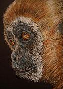 Featured Drawings Prints - Gibbon Print by Karen Ilari