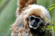 Gibbons Prints - Gibbon Portrait Print by Laura Mountainspring