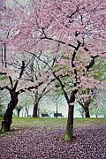 Cherry Blossoms Photo Prints - Gifts Print by Mitch Cat