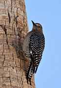 Gila Woodpecker Framed Prints - Gila Woodpecker Framed Print by Larry  Depee