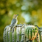 Gila Woodpecker Framed Prints - Gila Woodpecker Framed Print by Yuko Smith photography