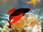 Betta Prints - Gilberts Red Beta Print by Patricia Griffin Brett