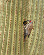 Saguaro Cactus Posters - Gilded Flicker Poster by Rebecca Margraf