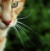 Staring Cat Photos - Ginger Cat Face by If I Were Going Photography - Leonie Poot