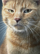Ginger Cat Posters - Ginger Cat Poster by Tim Flach