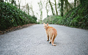 Ginger Cat Posters - Ginger Cat Walking Down Road Poster by Suzanne Marshall