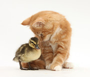 Domesticated Animals Posters - Ginger Kitten And Mallard Duckling Poster by Mark Taylor