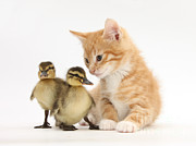 Baby Bird Prints - Ginger Kitten And Mallard Ducklings Print by Mark Taylor