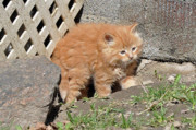 Kittens Photos - Ginger Kitten by Reb Frost
