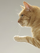 Cat Paw Posters - Ginger Tabby Cat Raising Paw, Close-up, Side View Poster by LifesizeImages