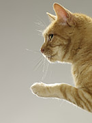 Cat Paw Posters - Ginger Tabby Cat Raising Paw, Close-up, Side View Poster by Michael Blann