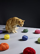 Colored Background Art - Ginger Tabby Cat Sitting On Table Looking At Woollen Balls by Michael Blann