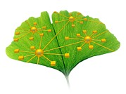 Medicinal Plant Posters - Ginkgo And Network Diagram Poster by Pasieka