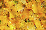 Fallen Leaf Photos - Ginkgo biloba leaves by Gaspar Avila