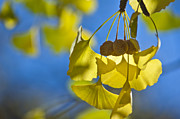 Ginkgo Trees Prints - Ginkgo fruits in autumn Print by Steven Foster