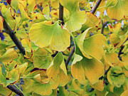 Ginkgo Gold Print by Pamela Patch