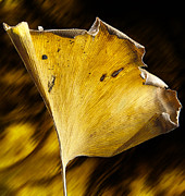 Ginkgo Trees Prints - Ginkgo Leaf Print by Garry McMichael