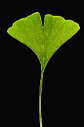 Featured Framed Prints - Ginkgo Leaf Framed Print by Piotr Naskrecki