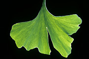 Traditional Chinese Medicines Framed Prints - Ginkgo leaf with black background-1 Framed Print by Steven Foster