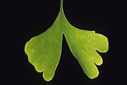 Ginkgo Trees Prints - Ginkgo leaf with black background 2 Print by Steven Foster