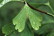 Ginkgo Trees Prints - Ginkgo leaf with dew-3 Print by Steven Foster
