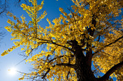 Ginkgo Trees Prints - Ginkgo tree with autumn leaves-1 Print by Steven Foster