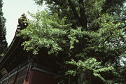 Ginkgo Trees Prints - Ginkgo tree with Chinese roof detail Print by Steven Foster