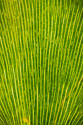 Macro Photo Originals - Ginko Tree Leaf by Steve Gadomski