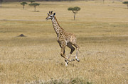 Young Giraffe Photos - Giraffe 3 Week Old Calf Running Masai by Suzi Eszterhas