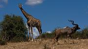 Giraffe And Kudu Print by Mareko Marciniak