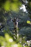 African Wild Life Posters - Giraffe As Seen Looking Through Trees Poster by Axiom Photographic
