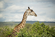 Tarangire Prints - Giraffe At Tarangire Print by Photograph by Kyle Hammons