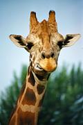 Giraffe Print by CJ Clark