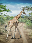Dirt Road Prints - Giraffe Crossing Road In Masai Mara Print by Mehmed Zelkovic