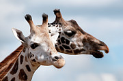 Young Giraffe Photos - Giraffe Family by Gail Shotlander