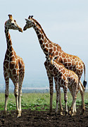 Looking Metal Prints - Giraffe Family Metal Print by Sallyrango