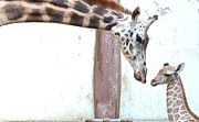 Color Bending Framed Prints - Giraffe Framed Print by Floridapfe from S.Korea Kim in cherl