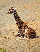Young Giraffe Photos - Giraffe by Gabriela Insuratelu