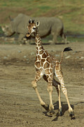 Young Giraffe Photos - Giraffe Giraffa Camelopardalis Juvenile by Zssd