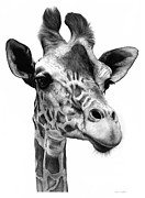 Graphite Framed Prints - Giraffe Framed Print by Jerry Winick